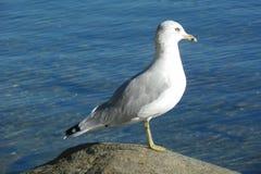 站立在岩石的海鸥 库存照片