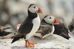 站立在岩石的海鹦 免版税库存图片