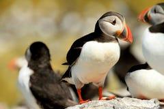 站立在岩石的海鹦 免版税库存照片