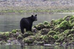 站立在岩石的熊 免版税图库摄影