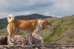 站立在岩石的狗 免版税库存照片