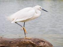 站立在岩石的白鹭(白鹭属thula)在水中 图库摄影