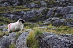 站立在岩石的绵羊 免版税图库摄影