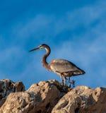 站立在岩石的蓝色苍鹭 免版税图库摄影