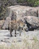 站立在岩石的鬣狗的Frontview 免版税库存照片