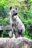 站立在岩石的鬣狗 库存图片