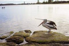 站立在岩石的鹈鹕在入口澳大利亚的岸 库存照片