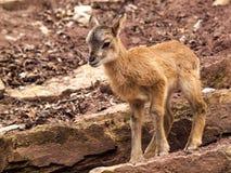 站立在岩石的Mouflon小鹿 免版税库存图片