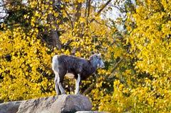 站立在岩石顶部的野绵羊 库存照片