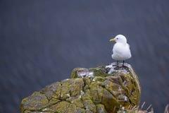 站立在峭壁的美丽的海鸥在Londrangar,冰岛 库存图片