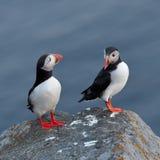 站立在峭壁(fratercula arctica)的海鹦 库存图片