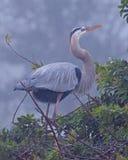 站立在巢的伟大蓝色的苍鹭的巢在群 图库摄影
