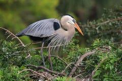 站立在巢的伟大蓝色的苍鹭的巢它是最大的北部Ame 免版税库存图片