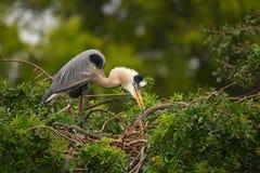 站立在巢的伟大蓝色的苍鹭的巢它是最大的北部Ame 免版税图库摄影