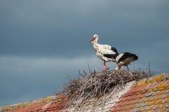 站立在巢的屋顶的鹳夫妇  免版税库存照片