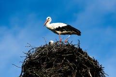 站立在巢的鹳在一个美好的晴天 波兰 免版税库存图片
