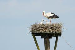 站立在巢的鹳观看,护理和哺养二 免版税图库摄影
