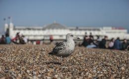 站立在布赖顿海滩的小卵石的一只幼小海鸥 免版税库存照片