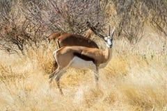 站立在干旱的非洲灌木的两只跳羚羚羊 库存图片