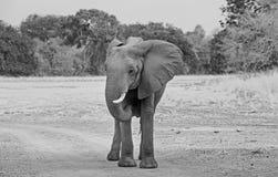 站立在干燥干旱的计划的非洲大象在南luangwa国家公园,赞比亚 免版税库存照片