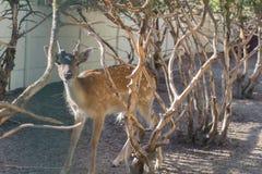 站立在干燥树之间的一只小狍 免版税图库摄影