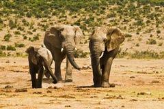 站立在干燥沙子的三头非洲大象 库存照片