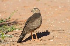 站立在干燥沙子的少年Gabar苍鹰 图库摄影
