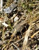 站立在干草的逗人喜爱的矮小的棕色青蛙 免版税库存照片