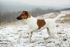 站立在平的雪表面上的机架的光滑的狐狸狗 库存图片