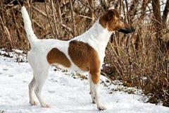 站立在平的雪表面上的机架的光滑的狐狸狗 免版税库存图片