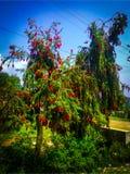 站立在庭院里的红色花树 免版税库存图片