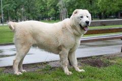 站立在庭院里的美丽的中亚牧羊犬 库存照片