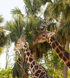 站立在彼此附近的两头长颈鹿在树前面 库存照片