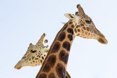 站立在彼此附近的两头长颈鹿 免版税库存图片