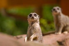 站立在戒备的注意meerkat 免版税库存照片