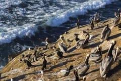 站立在拉霍亚海洋储备圣地亚哥加利福尼亚的峭壁的海鸟群  库存照片