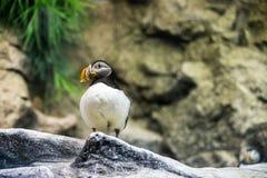 站立在散开的背景fornt的石头的唯一大西洋海鹦  免版税库存照片