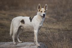 站立在日志注意敌人的狩猎杂种和北白色狗 图库摄影