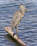 站立在日志的一个伟大蓝色的苍鹭的巢的图象 图库摄影