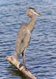 站立在日志的一个伟大蓝色的苍鹭的巢的图象 库存照片