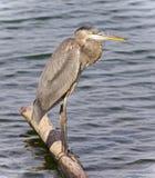 站立在日志的一个伟大蓝色的苍鹭的巢的照片 图库摄影