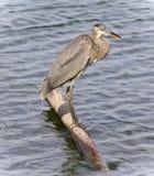 站立在日志的一个伟大蓝色的苍鹭的巢的照片 免版税库存图片