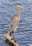 站立在日志的一个伟大蓝色的苍鹭的巢的照片 免版税图库摄影