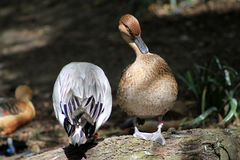 站立在日志的两只鸭子 库存照片