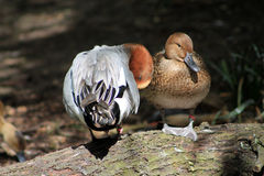 站立在日志的两只鸭子 免版税库存照片