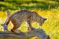 站立在日志的美洲野猫 免版税库存图片