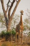 站立在日落的长颈鹿 库存图片