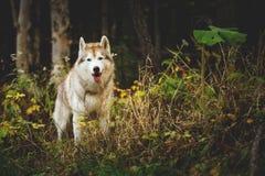 站立在明亮的迷人秋天森林里的华美的西伯利亚爱斯基摩人狗画象  库存照片