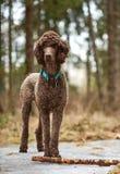站立在春天森林里的标准长卷毛狗使用用棍子 库存照片