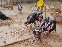 站立在有他们的羽毛损失的一个小屋的年轻鸡,哺养与白蚁 库存照片